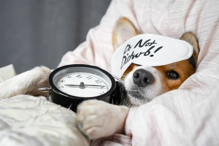 Cute red and white corgi sleeps on the bed on its back with alarm clock in paws. Head on the pillow, covered by blanket, eyes mask. Close up portrait of pretty spoilt dog. Zdjęcie Seryjne