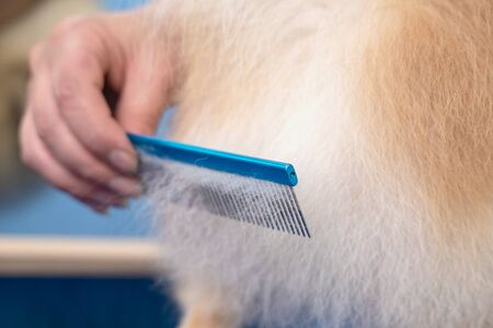 groomer makes a spitz breed haircut with comb in grooming salon.