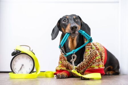 Little poor black and tan dachshund dog in warm jumpsuit lying on floor, watching the owners and holding a collar in his teeth, vintage alarm clock is nearby. Life with schedule.