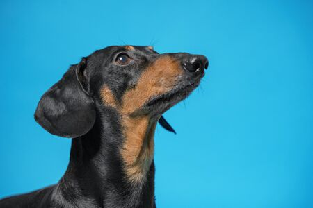 Close up portrait of cute black and tun dachshund, looking up, with attentive and clever eyes. Moment of training.