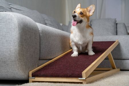 A funny welsh corgi pembroke dog, sits on a home ramp. Safe of back health in a small dog.