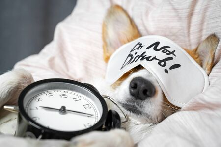 Cute red and white corgi sleeps on the bed on its back with alarm clock in paws. Head on the pillow, covered by blanket, eyes mask. Close up portrait of pretty spoilt dog. Imagens