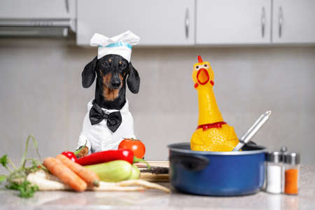 Dachshund dog in chief hat, cooker costume with bow tie sits in kitchen. Tomato, zucchini, carrot and vegetables next to pot with plastic toy chicken, pepper and salt shaker. Cooking healthy dish