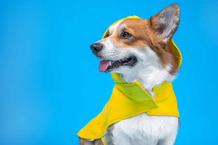 Adorable ginger and white dog of white welsh corgi Pembroke breed, wearing raincoat yellow coat sticking out an ear, sits on blue background looking away. Indoors, copy space.