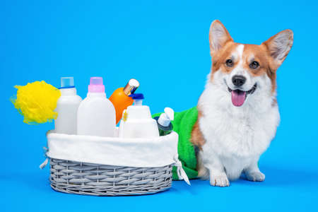 Portrait welsh corgi pembroke dog, with a box of accessories for bathing or grooming against an blue background. how to groom a dog at home. dog shampoo homemade. Imagens
