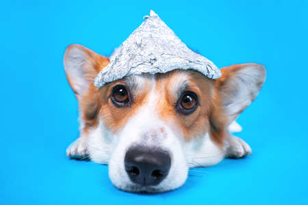 Funny welsh corgi pembroke dog with grim facial expression in foil hat lies on blue background, front view, copy space. Conspiracy theories drive people and pets crazy