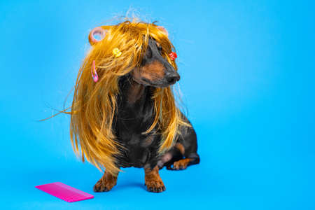 Beautiful dog in a disheveled wig with hairpins and curlers sitting next to a large pink comb on a blue background. Pet care, grooming. Copy space