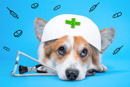 Adorable welsh corgi pembroke or cardigan dog in white nurses medical cap, and stethoscope lies on blue background with ornament of small syringes and pills, front view