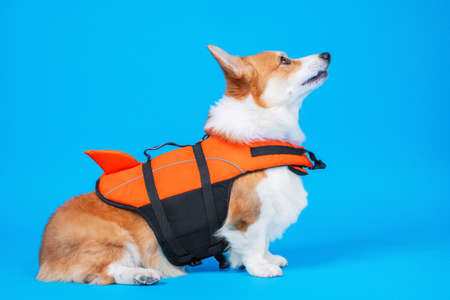 portrait of a cute welsh corgi pembroke wearing orange life jacket, on blue background. Baywatch dog. Pet Water Safety.