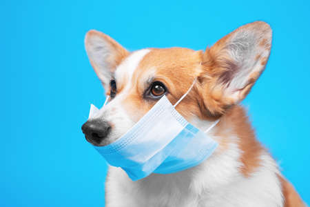 Portrait of smart welsh corgi pembroke dog in protective mask for not to spread dangerous virus, not infect others, on blue background. Awareness of self isolation, quarantine and epidemic prevention.