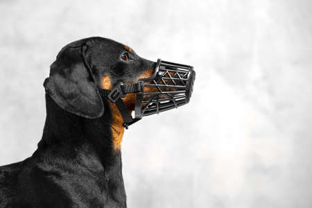 Profile portrait of short-haired dachshund in black muzzle, on gray background. Safety of your dog concept, indoors, copy space.