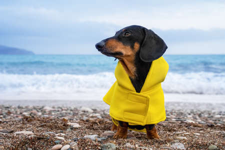 cute dachshund dog, black and tan, dressed in a yellow rain coat stands in against the background of the sea, waves are raging from the storm