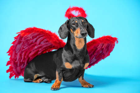 Cute black and tan dachshund sitting on bright blue background with crimson red feathered wings on the back and halo under the head.