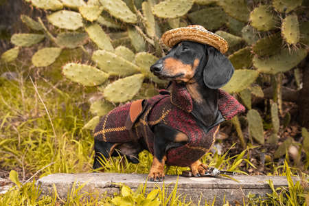 Cute black and tun dachshund in straw hat and brown travel suit stands between green bushy cacti, grass and plants. Funny proud face expression, outdoors. Stock Photo