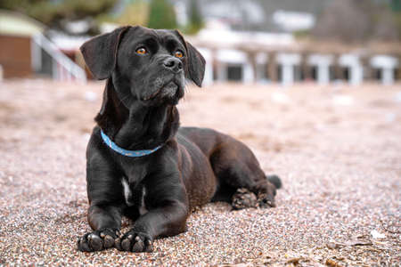 Cute black dog in blue collar lying on the sand beach, looking attentively up. Beautiful well-groomed animal, outdoors. Imagens