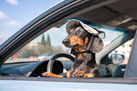 Funny little dachshund peeking out from the left car window, sitting on the driver seat. Wearing cute cap, with pretty face expression, looks around. Outdoors, sunny day. Stock Photo