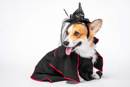 Cute corgi dog dressed in black witch costume and hat, with tongue out. White background, halloween or other party holiday concept. Pretty smiling face expression.