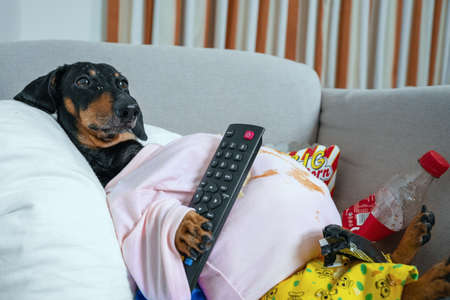 fat dog couch potato eating a popcorn, chocolate, fast food and watching television. Parody of a lazy person Stock Photo