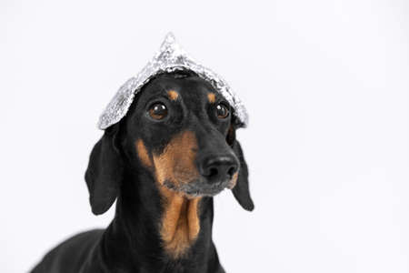 Suspicious dachshund dog in foil hat on a white background, not isolate. Fear of aliens or radiation exposure from antennas and gadgets