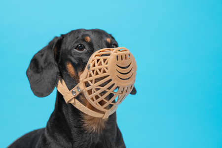 Portrait of a cute Dachshund dog, black and tan, wears a black muzzle on a blue background. Pet safety. Copy space.