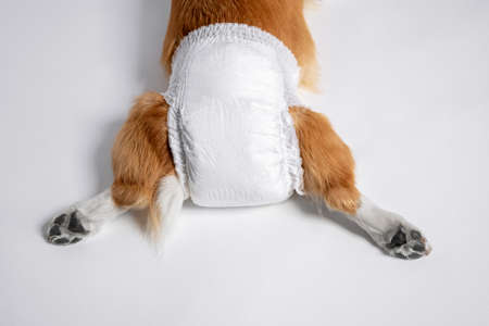 top view of dog welsh corgi Pembroke lies in a special diaper spreading its paws back on a white background. lifestyle pet. doggy diaper for incontinence or in heat