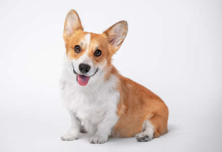funny dog (puppy) breed welsh corgi pembroke sit and with big smiles on a white background. not isolate