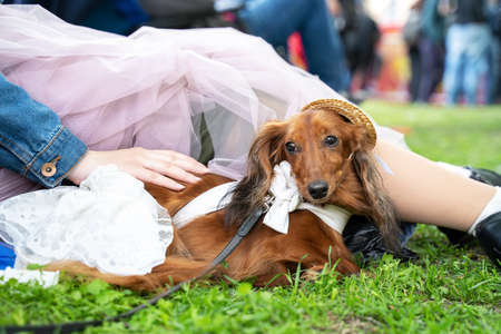 Cute ginger long-hairded doxie in white dress and pretty straw hat lies close to owner, woman in transparent pale pink skirt.