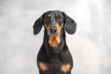 Portrait of a serious obedient black and tan dachshund dog sitting isolated on gray background, looking at camera, waiting for a walk, owner or yummy. Puppy on excerpt training Stock Photo