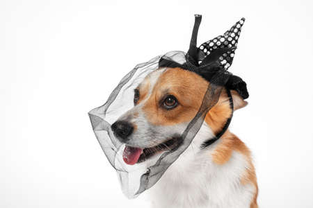 Portrait of cute smiling welsh corgi pembroke dog in black spotted pointed hat headband with a ribbon bow and veil on white background. Halloween cosplay party costume of witch for pets