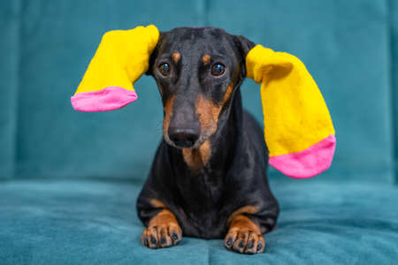 Funny black and tan dachshund dog with bright yellow colored socks for pets or children on ears is lying on sofa, advertising clothing.
