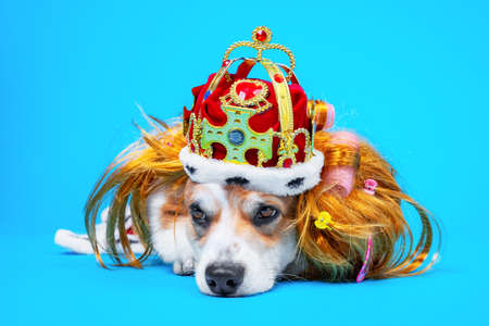 Funny tired welsh corgi pembroke or cardigan dog in red wig, gold crown decorated with gems and in royal robe sleeps on blue background, copy space for advertising text. Noble tiresome life.