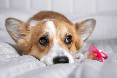 Cute welsh corgi pembroke or cardigan lies on white bed with pacifier. Pregnant dog is waiting for puppies. Preparing and anticipation of children in a house with pets. Change, new order and rules