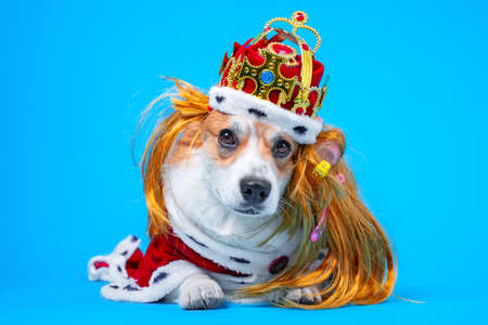 Adorable welsh corgi pembroke or cardigan dog in red wig, gold crown adorned with gems and in royal robe lies on blue background, copy space for advertising text.