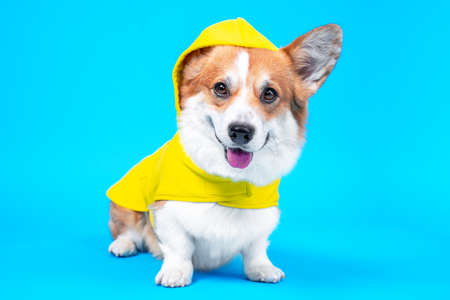 Cute smiling welsh corgi pembroke or cardigan dog in cozy yellow raincoat with hood sits on blue background. Advertising of comfortable and warm clothing for pets, copy space.