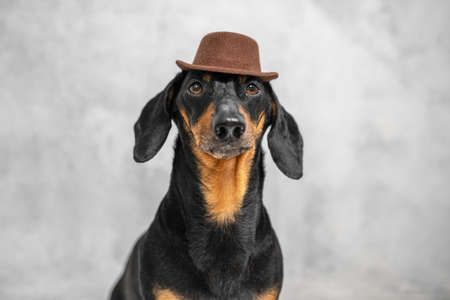 cute dachshund dog, black and tan, dressed in a brown elegant hat on a gray wall background. Copy space.