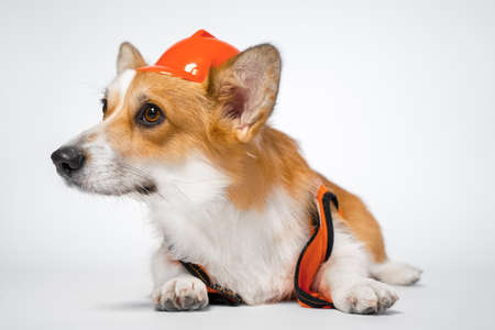 funny red and white corgi lays on the floor looking away, wearing bright orange safety construction helmet on white background.Guest worker. Copy space 免版税图像