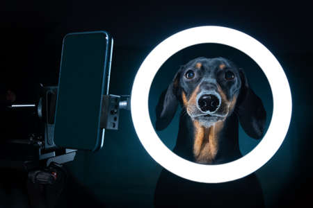 Spectacular portrait of cute blogger dachshund with cell phone stand with LED ring light, shot in dark. Freelance dog uses specialized equipment to create blog content. 写真素材