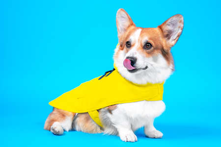Cute smiling welsh corgi pembroke shows tongue in cozy yellow raincoat with hood sits on blue background. Advertising of comfortable and warm clothing for pets, copy space.