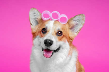 Portrait of a cute breed dog corgi pembroke with curlers on a pink background at the groomer