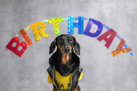 portrait cute dog Dachshund breed, black and tan, dressed in a yellow T-shirt and black jacket, on the background of a garland with the inscription Birthday. greeting card