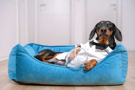 cute dog dachshund in a white shirt and tie butterfly after a party lies in bed with a hangover trying to sleep