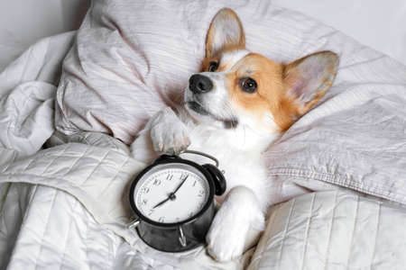 Cute red and white corgi sleeps on the bed on its back with alarm clock in paws. 스톡 콘텐츠