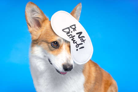 Cute welsh corgi pembroke or cardigan dog sits with eye mask for sleeping hanging from its ear. Inscription on the blindfold says DO not DISTURB. Free time for rest and sleep after a hard working day Foto de archivo