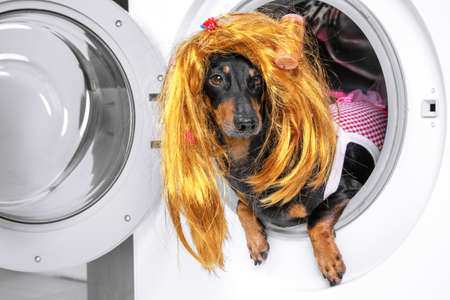 Funny little dachshund wearing red and white checkered maid costume and golden blond wig peeking out from the opened washing machine drum. Humor concept of housekeeping.