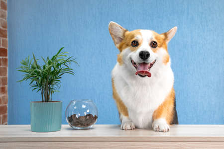 Cute dog of welsh corgi pembroke breed sits on the desk of reception welcomes guests