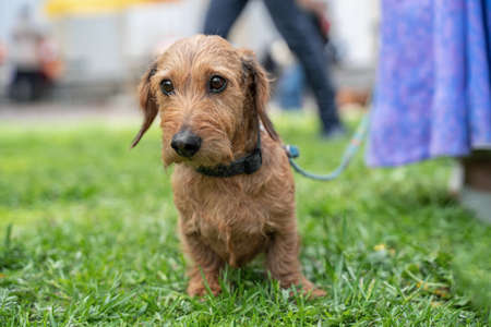 Cute ginger wire-haired dachshund plaintively looks to something, standing close to owner on green lawn, on a leash. Adorable dog eyes. Outdoors, walking with pet.
