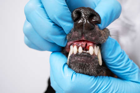 Veterinarian examines the oral cavity of a dog in a clinic. examines tooth extraction.