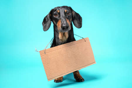 Cute black and tan dachshund sitting with empty cardboard and thrillingly looking on a blue background
