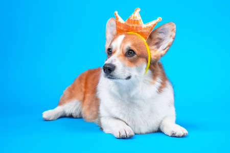 Funny dog pembroke welsh corgi in the crown, like a king, a prince on a blue studio background