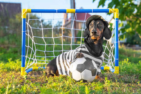 Funny dachshund dog goalkeeper in sportswear sits next to portable children goal with net and soccer ball to play football on countryside. Active and sports activities on the street in warm season Stock Photo